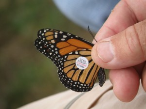 2012 Tagged Monarch
