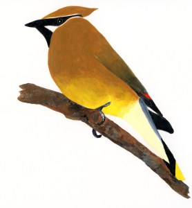 GBBBC Cedar Waxwing for T shirt